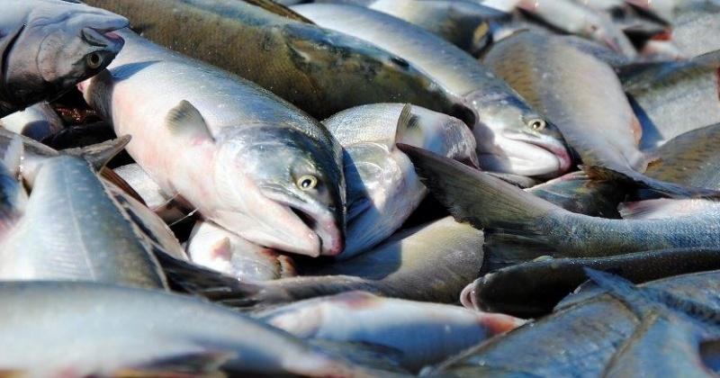 Объёмы вылова кижуча для рыбаков увеличили в Магаданской области