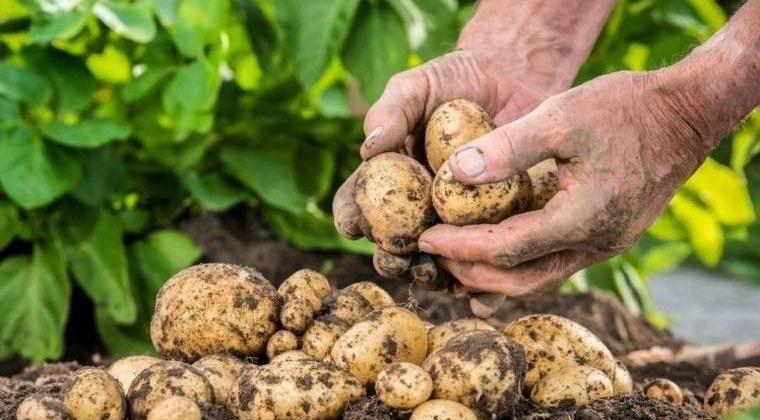 Из-за заморозка в июле и паводка в августе – сбор картофеля и капусты ожидается меньше, чем в прошлом году