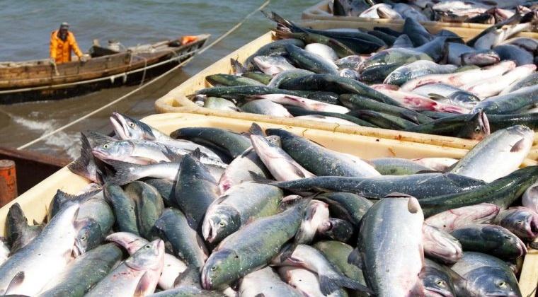 В Магаданской области улов составил около 10,4 тыс. тонн лососевых, прирост к 2017 году - 66%.