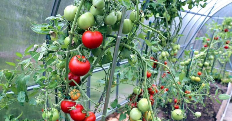 Александр Басанский обещает колымчанам выращивать зимой огурцы и помидоры