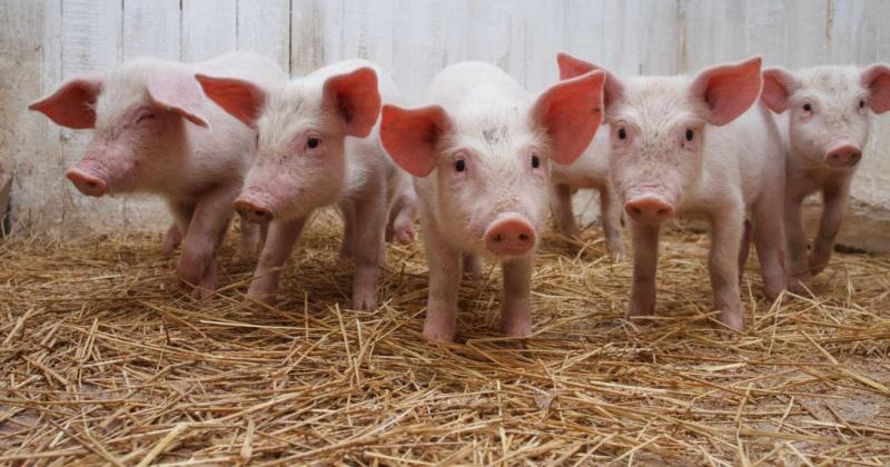 В хозяйстве «Комарова» планируется завершение инвестиционного проекта по реконструкции птичника под помещение для содержания свиней на 5000 голов