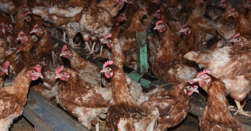 Только свежее и натуральное – яйцо кур из КФХ «Надежда» могут приобрести жители Магадана