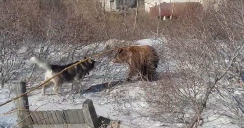 В пригороде Магадана медведь загрыз быка из стада фермера