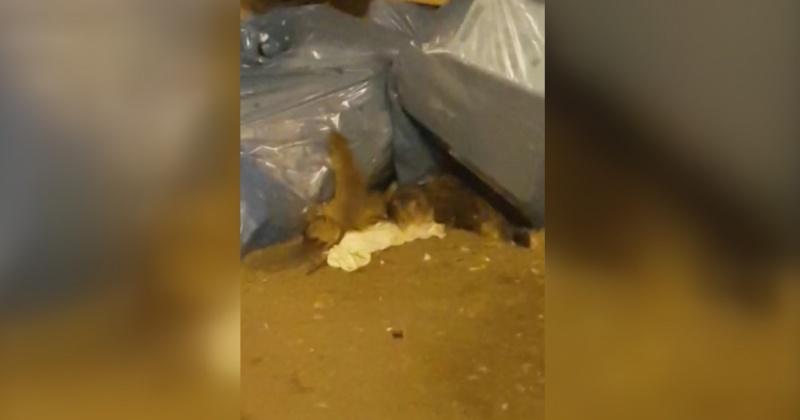 Огромные упитанные крысы, нагулявшие солидный жирок к зиме, продолжают хозяйничать в Магадане (Видео)