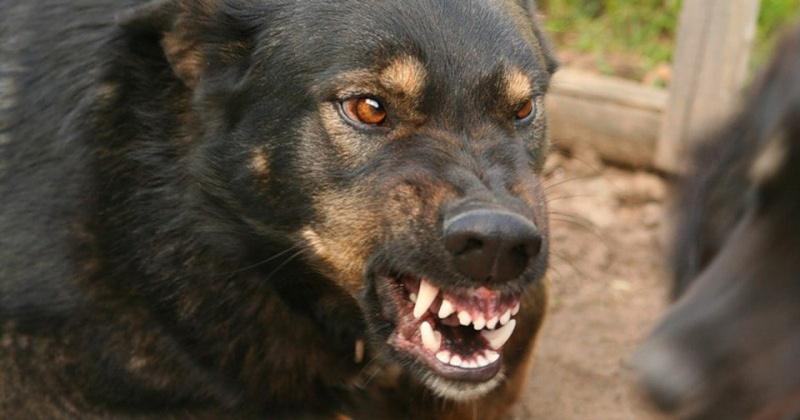 В Магадане бездомная собака   покусала трёхлетнего ребёнка