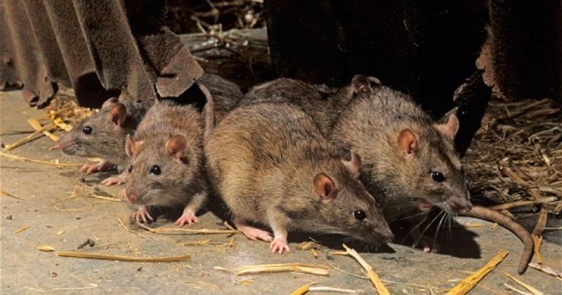 Управляющим компаниям  Магадана не хватает денег на борьбу с крысами