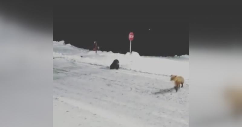 Лисицы и росомаха выходят к людям на перевале в Магаданской области