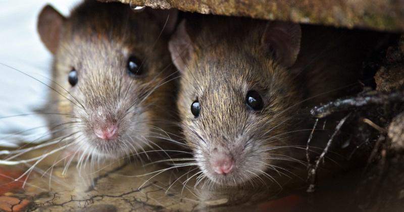 В 2019-м количество крыс, обитающих на контейнерных площадках Магадана , увеличилось в разы
