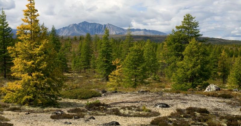 Организации занимающиеся рубкой леса на Колыме  будут высаживать новые деревья