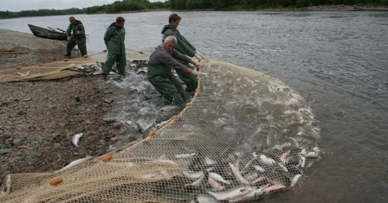 Прогнозируемый объем возможного вылова тихоокеанских лососей в Магадане и регионе  определен в размере 8,8 тысячи тонн