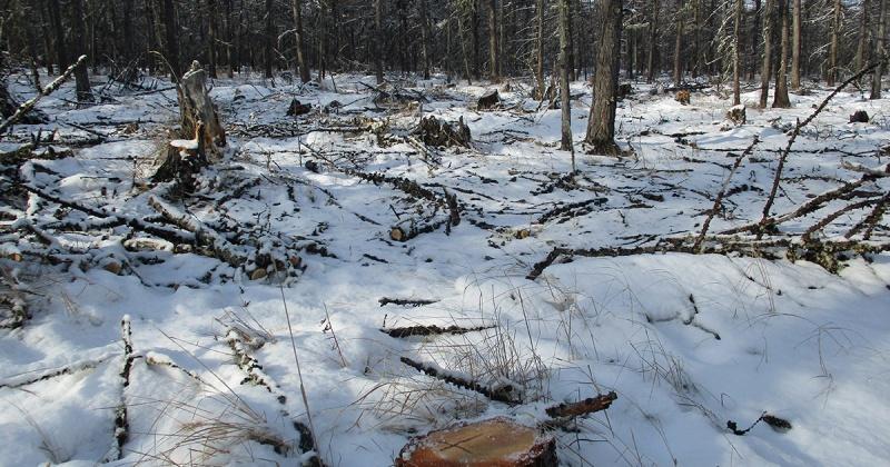 Семь лет грозит колымчанину за вырубку леса