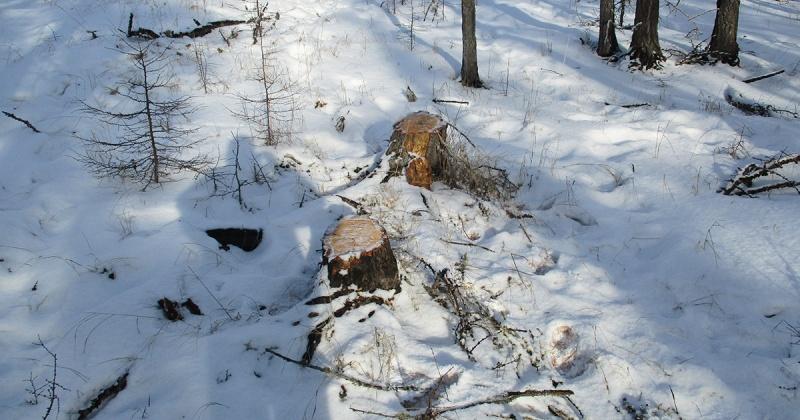 За вырубку 59 деревьев лиственницы Каяндера колымчанин может получить семь лет