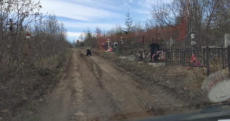 В Магадане медведи бродят по кладбищу