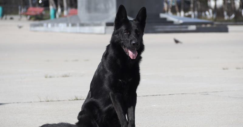 Служебные собаки из Магадана представляют регион на фотоконкурсе «Четвероногий страж»