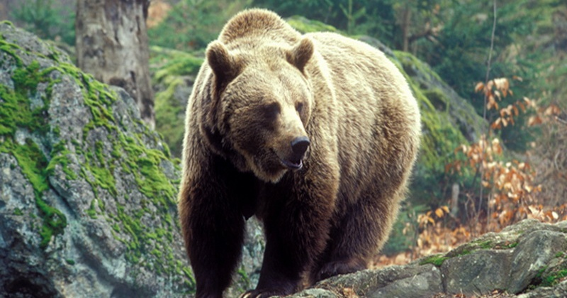 Медведь насмерть задрал мужчину в Магаданской области
