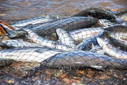 На Колыме с нетерпением ждут пятницу, 19 июня, когда для рыбаков-любителей стартует долгожданная лососевая путина,