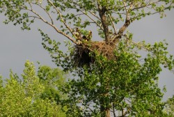 Ученые Магаданского заповедника пересчитали орланов