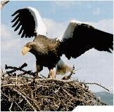 Поздний июньский паводок в Магаданском заповеднике не помешал белоплечим орланам дать потомство