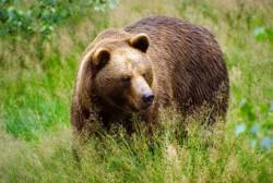 В текущем году случаев нападения медведей на человека в Магаданской области не было