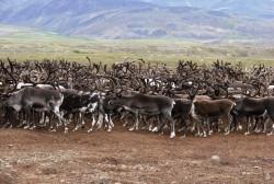 Родовая община коренных малочисленных народов Севера «Кочевник» получит на Колыме путевку в жизнь