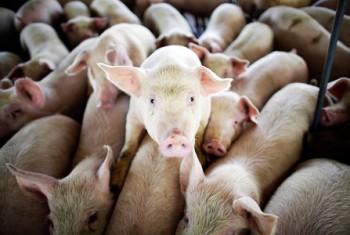 Строительство свинофермы в Магадане находится в стадии проектирования