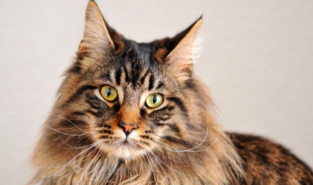 Кошки Мейн Кун - дань моде или настоящий друг