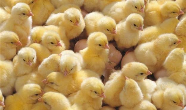 Прибывшие для дукчинской птицефабрики цыплята будут осмотрены ветеринарными специалистами
