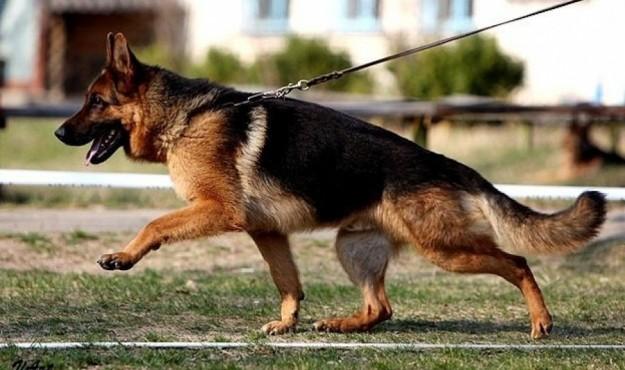 Собаки кинологической службы Магаданской таможни выявили 11 фактов попыток перевозок подконтрольных веществ.