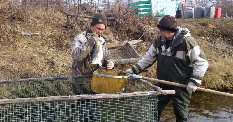 В рыбоводную путину заложено на инкубацию  более 4,6 миллионов икринок горбуши