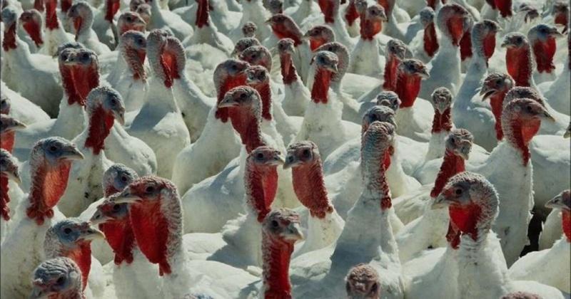 В ноябре на Колыме запустят индюшиную ферму