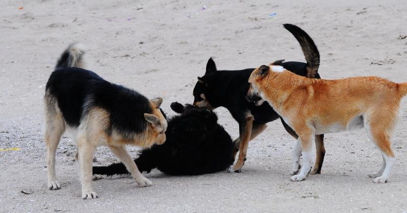 В Магадане по факту третьего случая нападения бродячих собак на детей проводится доследственная проверка