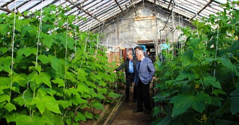 В этом году хозяйство «Тепличное» будет в Магадане продавать огурцы сортов «Стелла» и «Кураж»