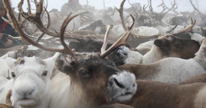 Гонки на оленях и соревнования по национальным видам спорта прошли на слете оленеводов в Северо-Эвенском округе