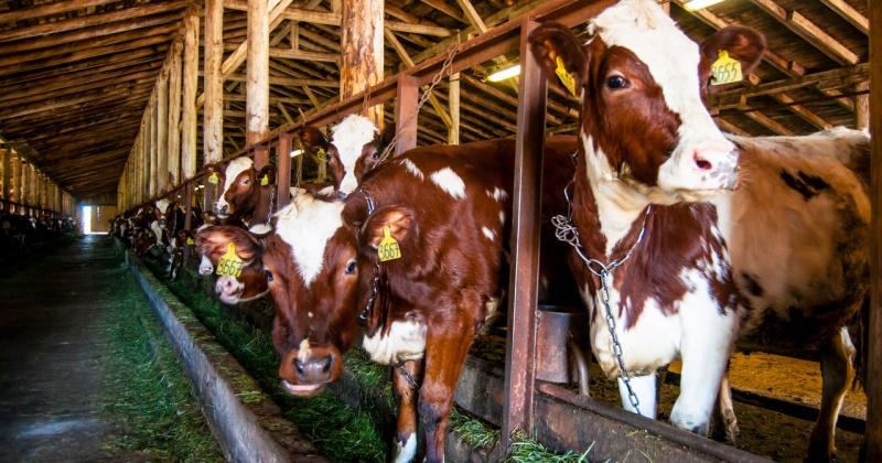 Поголовье крупного рогатого скота выросло на Колыме