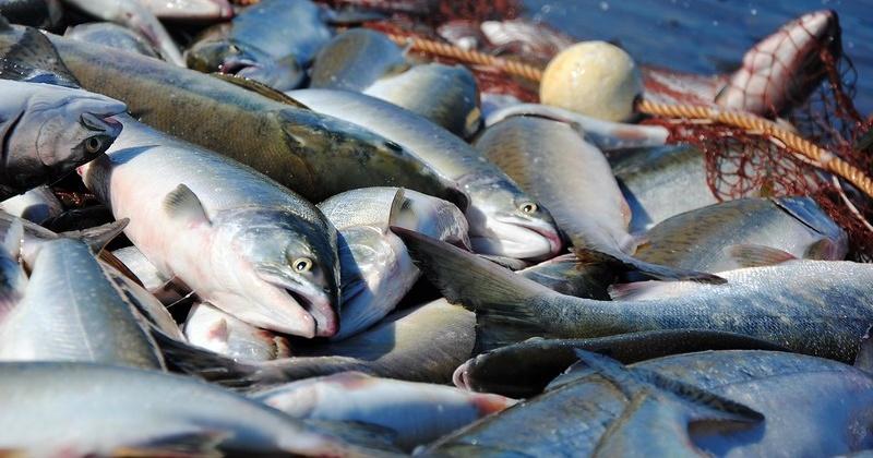 В этом году рекомендованный объем добычи тихоокеанских лососей и гольцов для Магаданской области составил около 7,1 тысячи тонн