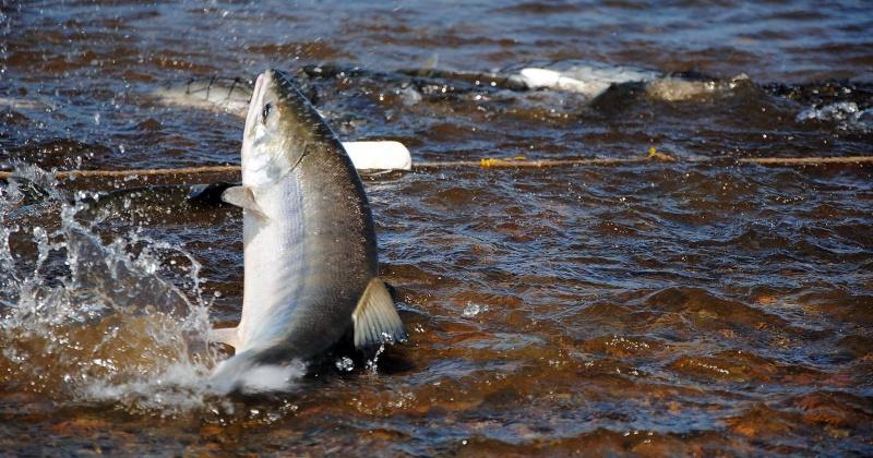 Где колымчанам можно ловить лососевых?
