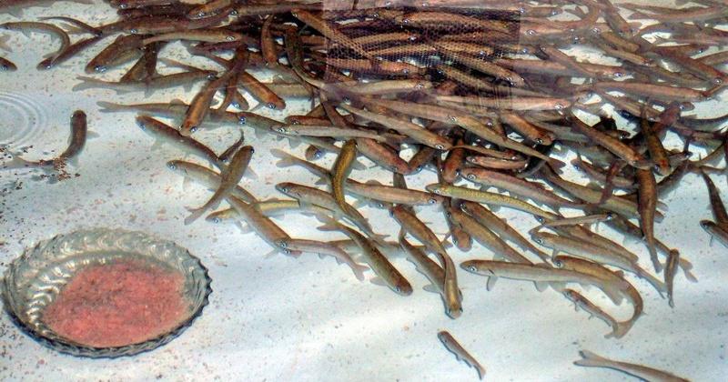 Рыбоводы Колымы заложили на инкубацию более 23 млн. штук оплодотворенной икры лососевых