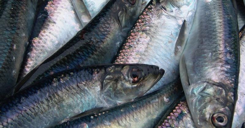Магаданские рыбаки с начала года произвели 33 тонны продукции из сырца сельди