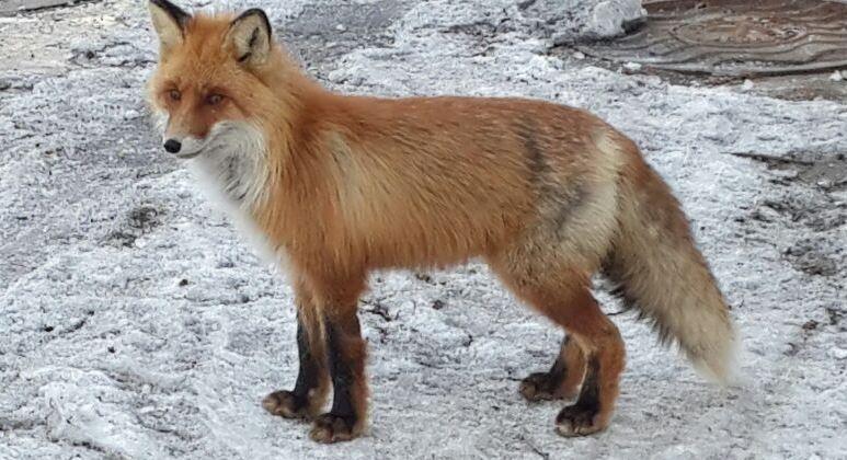 Территорию Магаданской ТЭЦ облюбовали лесные звери и птицы