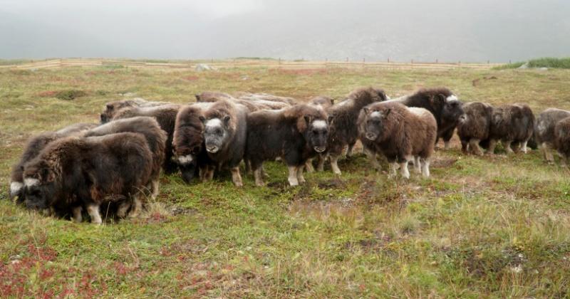 Овцебыков на острове Завьялова в Магаданской области выпустили в дикую природу