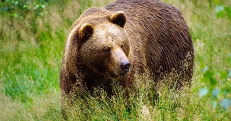 """В России выпустят методичку """"как спастись от медведя"""""""