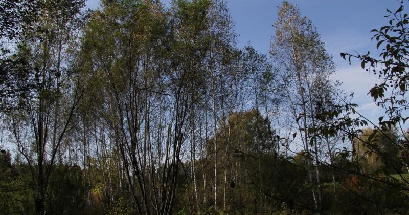 Штраф заплатит колымчанин за незаконную вырубки деревьев