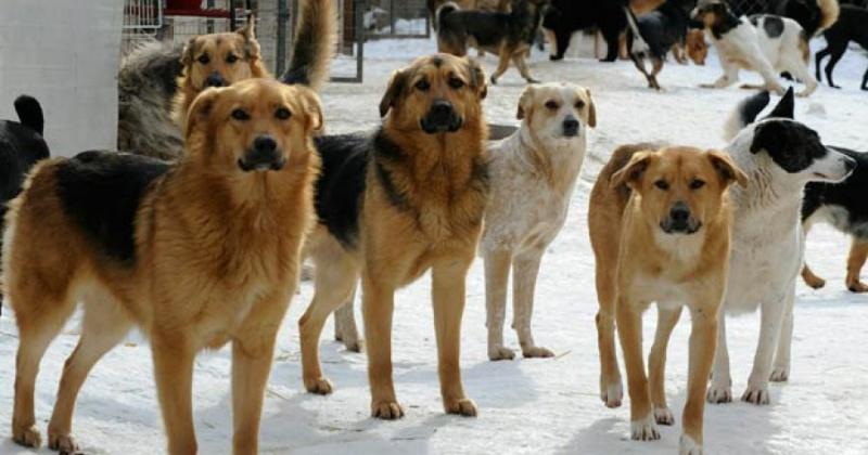 Как решать проблему с бродячими собаками?