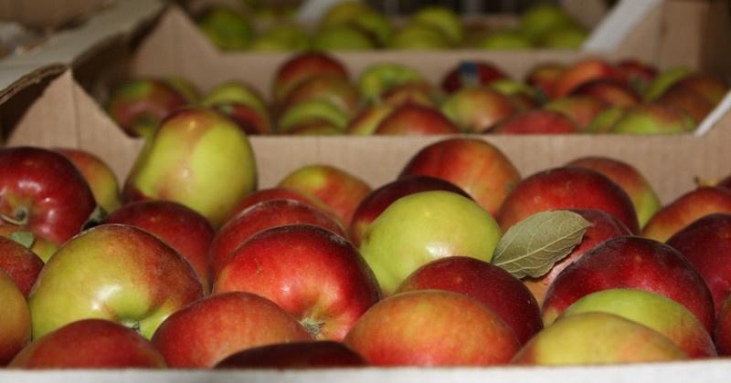 В Магадане уничтожена партия санкционных бельгийских яблок