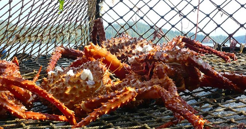 Более 6 тонн краба живого и мяса краба отправили магаданские предприниматели в российские регионы в 2019 году