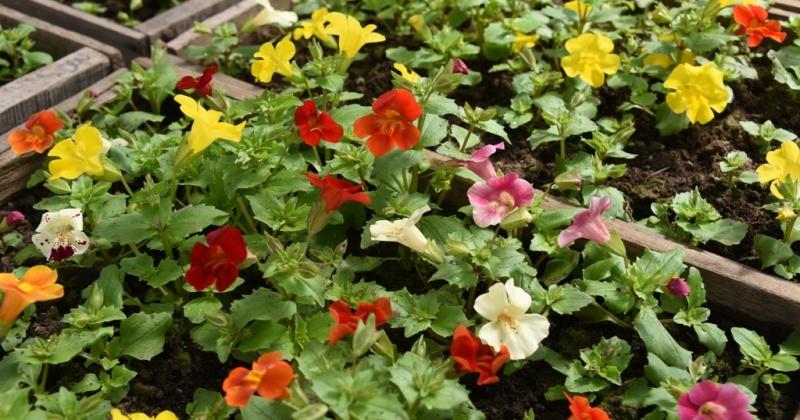 Клумбы и вазоны Магадана начнут высаживать цветами в начале июня текущего года