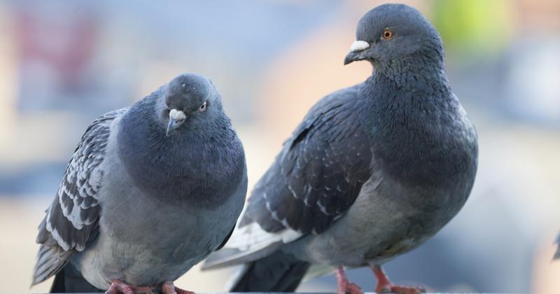 За кормление голубей жителям Магадана ничего не будет