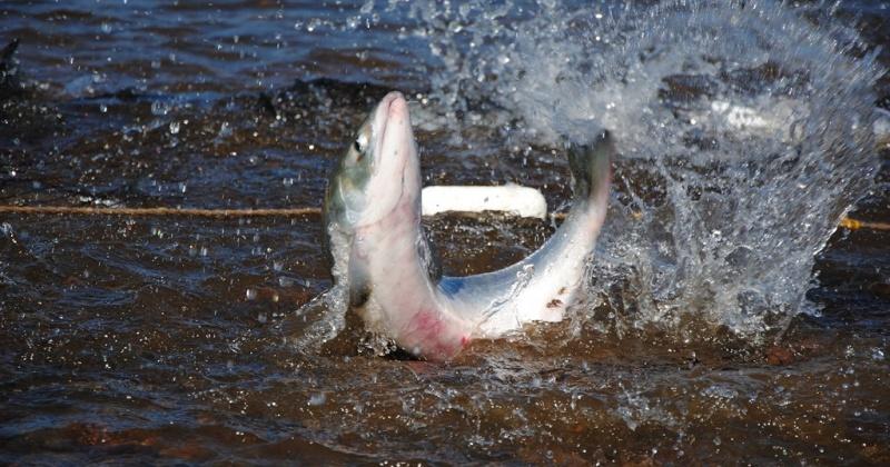 В сети магаданских рыбаков активно пошел лосось