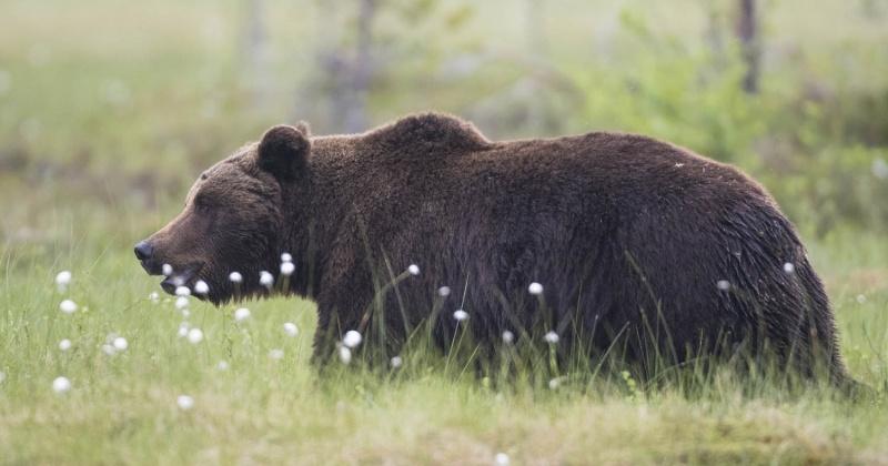 Труп бурого медведя обнаружен на автомобильной дороге «Магадан-Балаганное-Талон»